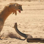 Cobra and Mongoose Battle